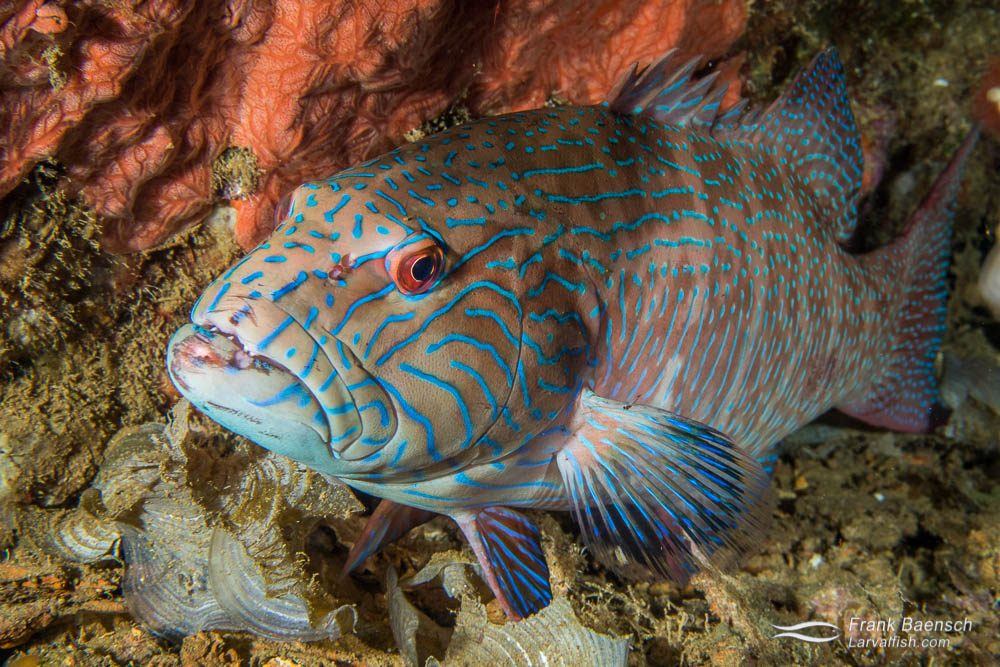 Highfin coral grouper (Plectropomus oligacanthus) resting on a wreck at night. Groupers and other large fish species were common on the wrecks, which are said to be under less fishing pressure by the locals