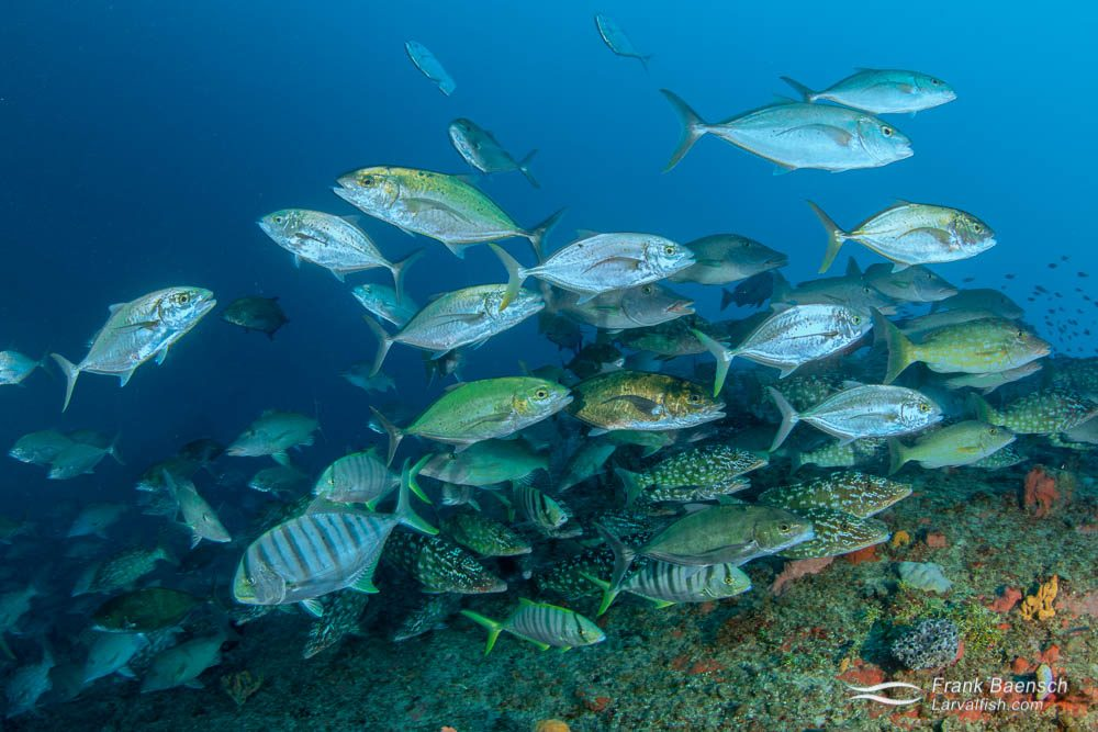 Bludger trevally (Carangoides gymnosthethus), golden trevally (Gnathanodon speciosus) and longface emperor (Lethrinus olivaceus) often hunt together on small fish that seek shelter on the wrecks in Truk Lagoon.