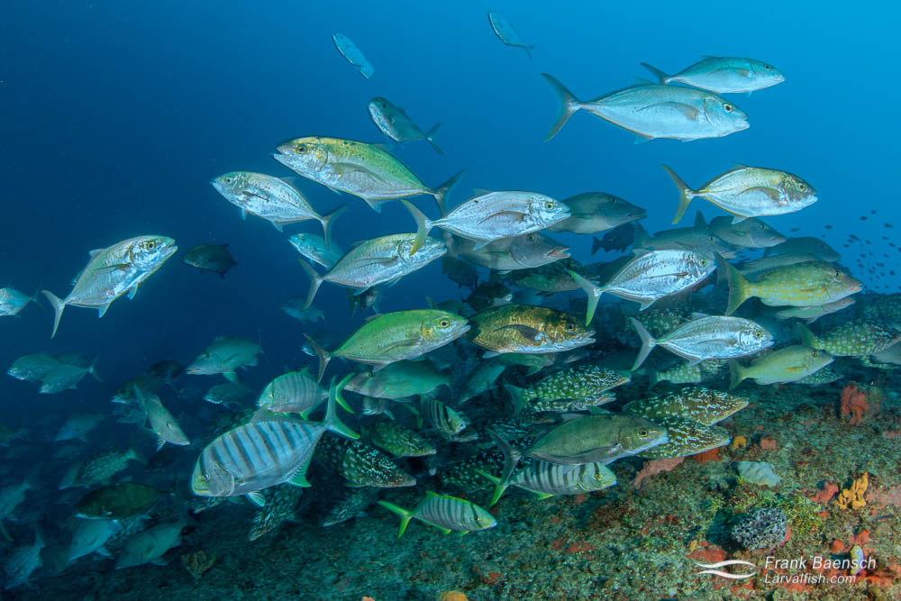 Bludger trevally (Carangoides gymnosthethus), golden trevally (Gnathanodon speciosus) and longface emperor (Lethrinus olivaceus) hunting a wreck in Truk Lagoon.