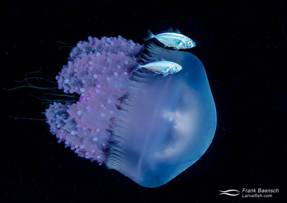Two juvenile jacks swim above a barrel jellyfish (Rhizostoma pulmo) at night in Truk Lagoon. Barrel jellyfish are very common in Truk Lagoon during the late summer months.