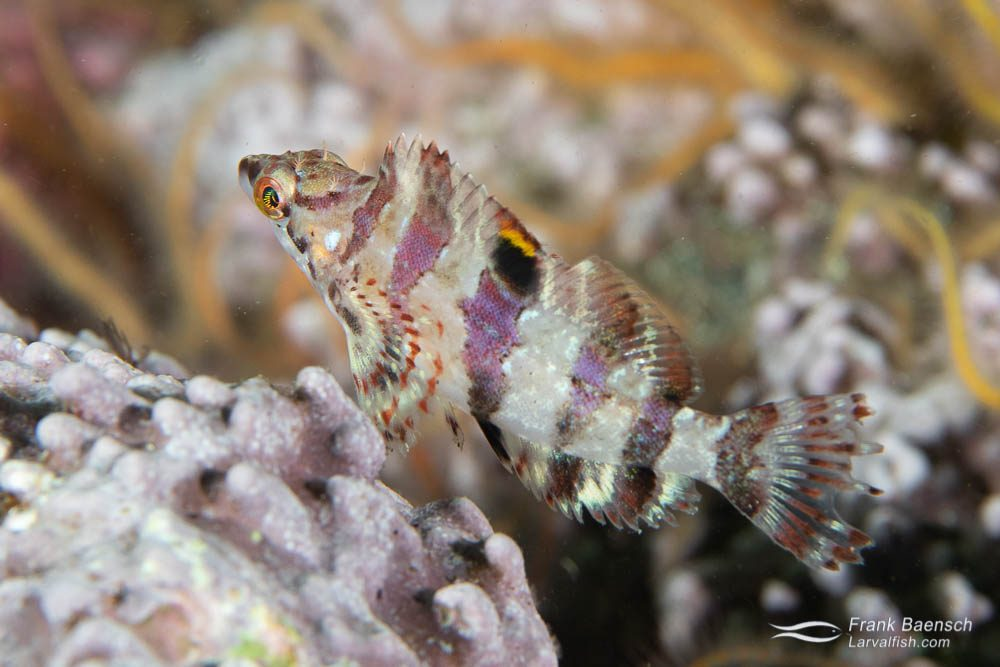 Juvenile painted greenling (Oxylebius pictus). Juvenile greenlings gain protection from larger predators by living among the tentacles of Cribrinopsis albopunctata or Urticina piscivora sea anemones.