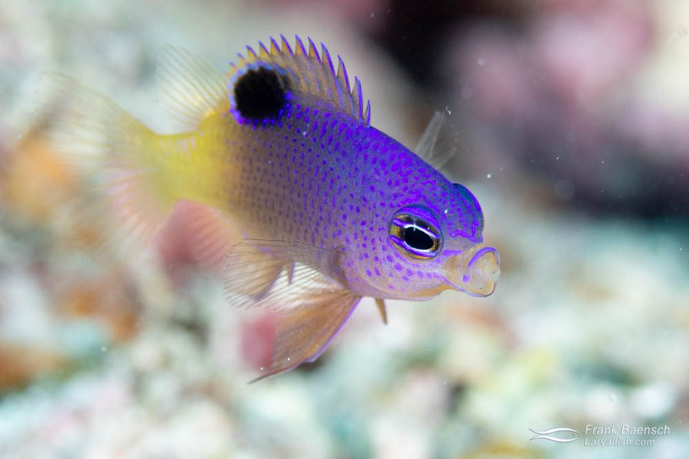 Princess damsels (Pomacentrus vaiuli) appear to prefer reefs over wrecks, which were dominated by blue damsels (Pomacentrus pavo).