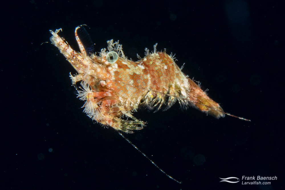 Juvenile saron shrimp near the surface at night in Truk Lagoon.