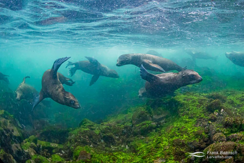 Juvenile sea lions play in the shore break at a rookery on Santa Barbara Island, California.