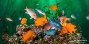 Colorful scene of common California kelp forest fishes.