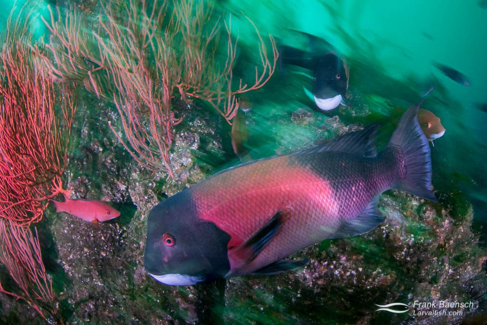 Like many wrasse species, sheephead are protogynous. All are born female, and the largest individuals become male due to hormonal changes triggered by social cues. The two sexes have extremely different appearances. Male sheephead are larger than females, with black head and tail and red mid-section, red eyes, and fleshy forehead bumps. Female sheephead are dull pink with white undersides.