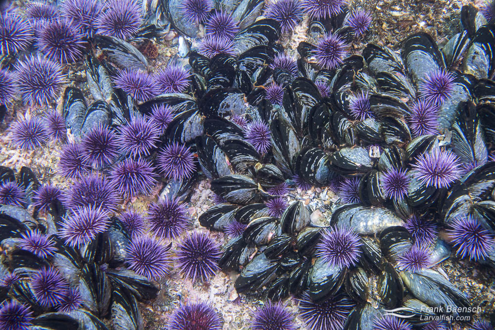Mussels and sea urchins in Channel Island intertidal zone.