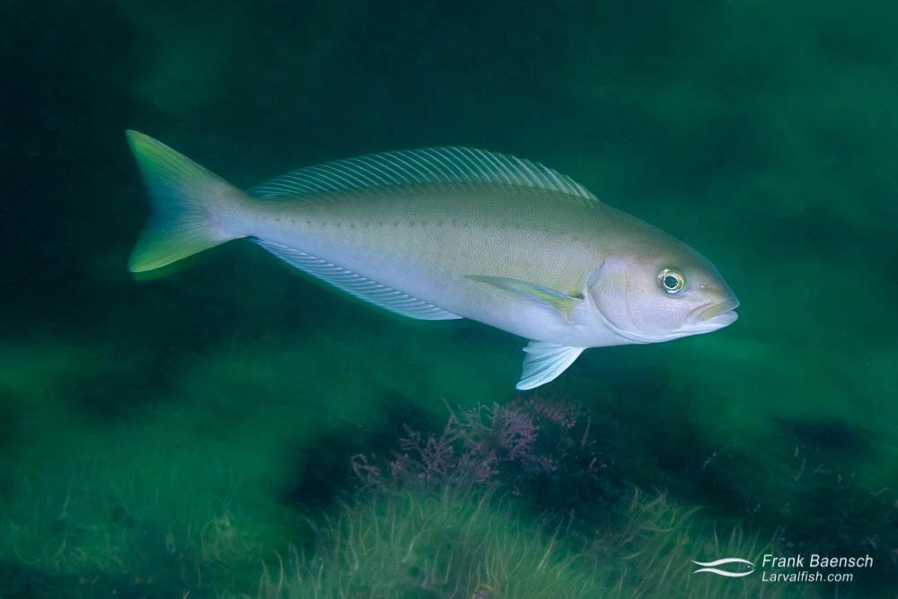 Ocean whitefish motion blur