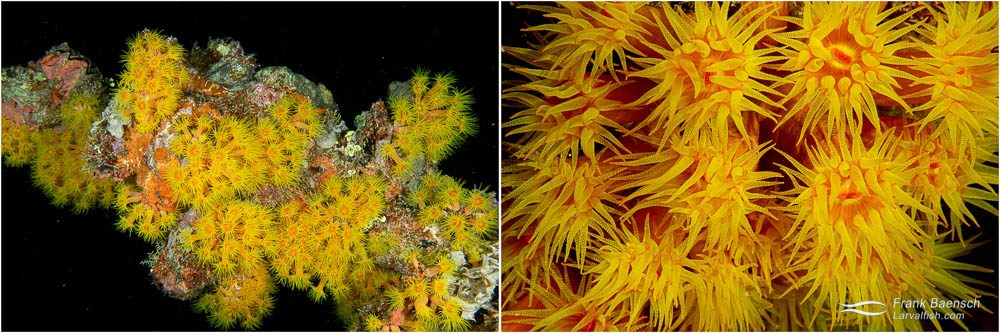 Truk's wrecks are covered  in orange sun corals  that feed at night.