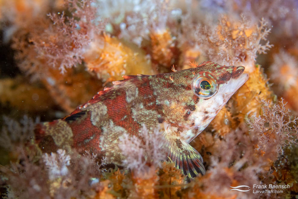 Painted greenling close up