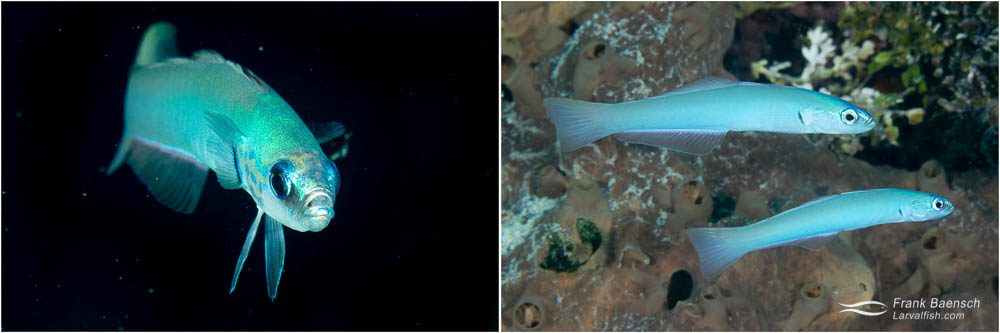 Pearly dartfish (Ptereleotris microlepis). Of the four darfish species I saw on the wrecks of Truk Lagoon, P. microlepis was the most common.