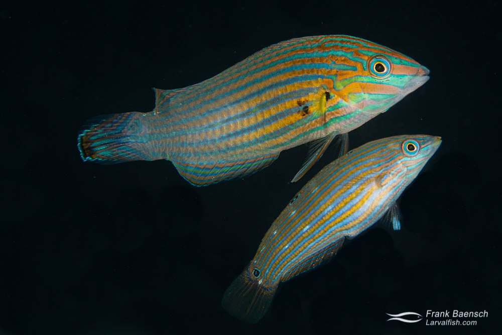 A pair of pinstriped wrasse (Halichoeres melanurus) rise to spawn above a coral head on a wreck in Truk Lagoon.