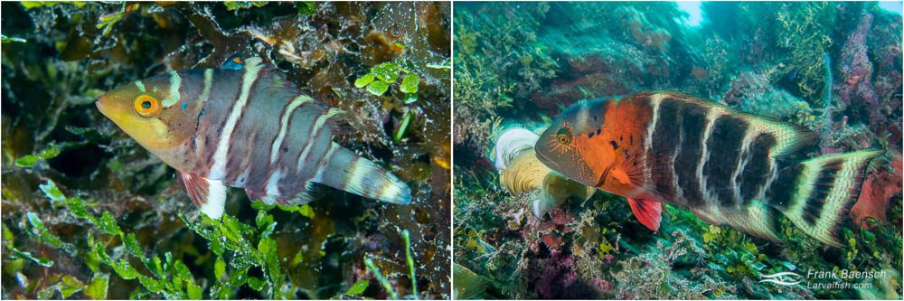 Redbreasted wrasse (Cheilinus fasciatus) juvenile (left) and adult (right).