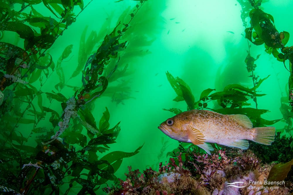 A kelp rockfish (Sebastes atrovirens) in a kelp forest covered in greenwater.