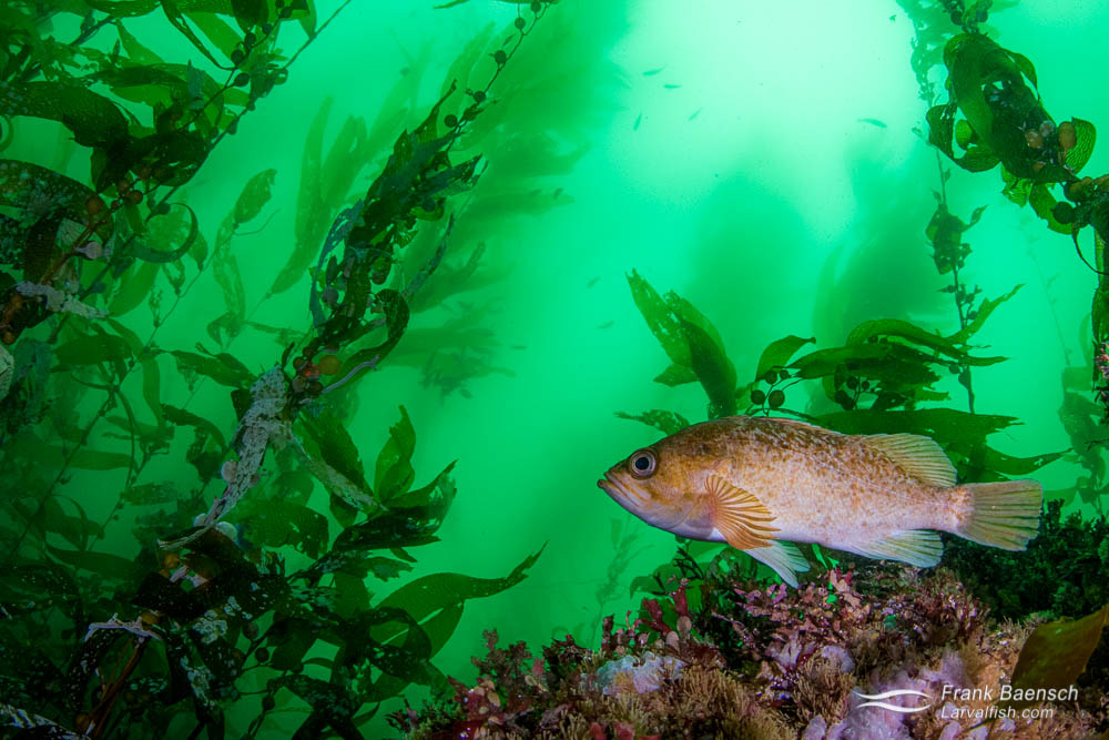 Rockfish in green kelp forest