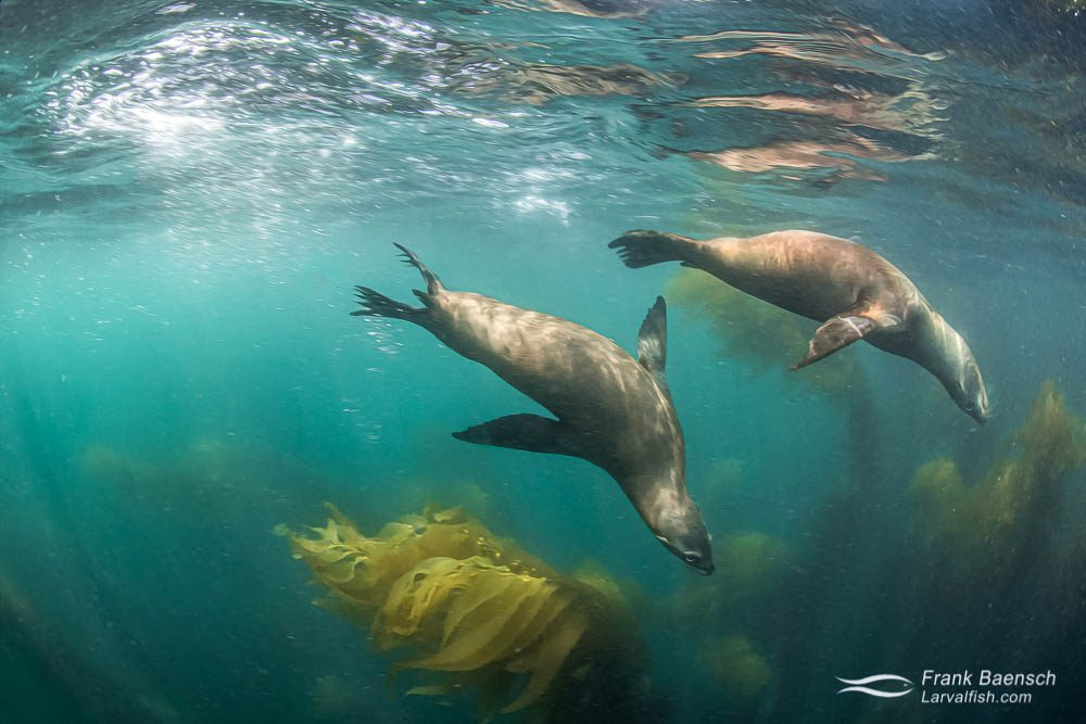 Two sea lions play on the surface above a California kelp forest.