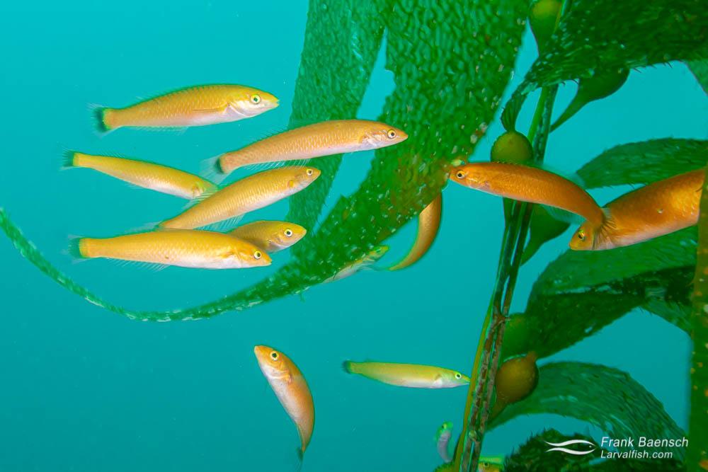 Senorita schooling in kelp