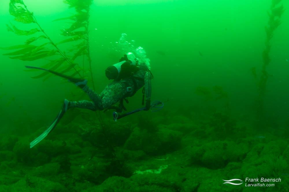 Spearfisherman in a green water kelp forest