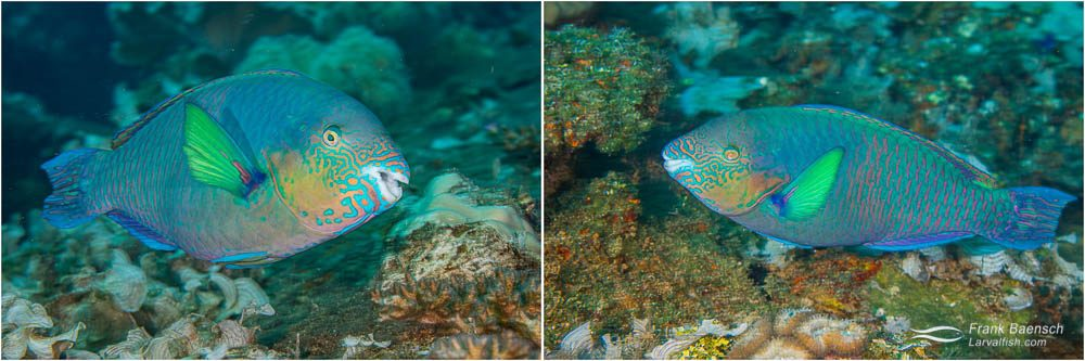 Surf parrotfish (Scarus rivulatus) - a common Truk wreck species with a beautiful color pattern on the head.
