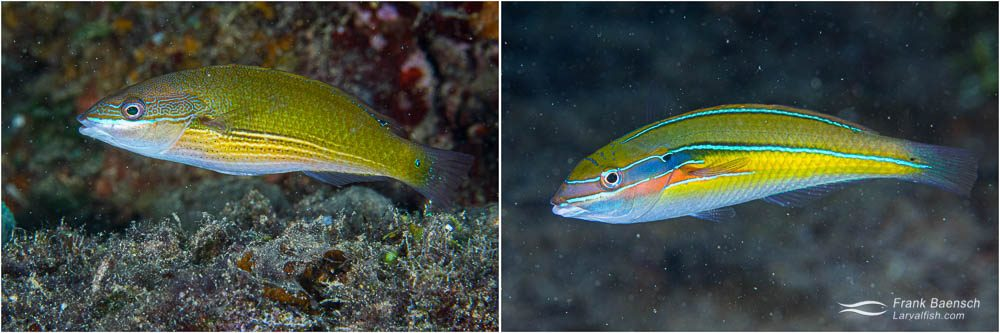 Three-line wrasse (Stethojulis strigiventer) female (left) and male (right) - a common ribbon wrasse found on the wrecks in Truk Lagoon.