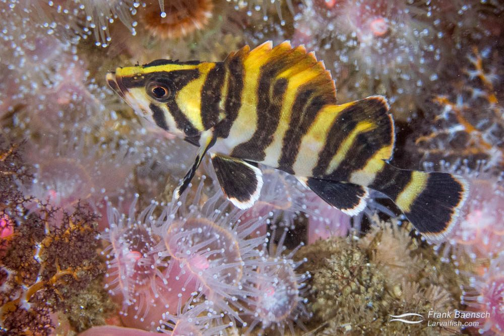 A juvenile treefish (Sebastes serriceps) among anemones.