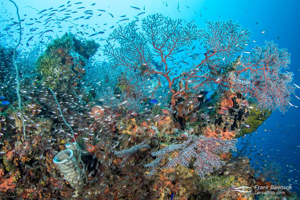 Gorgonians, sponges and cardinalfish make a colorful scene on a wreck in Truk Lagoon.