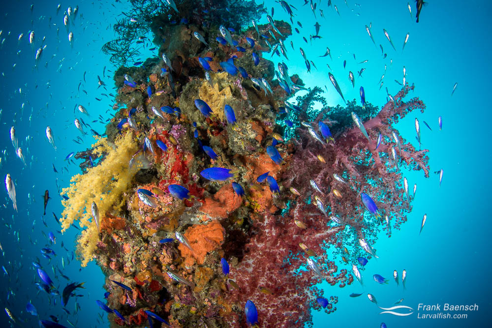 Damsels and cardinalfish surround soft corals and sponges on a wreck mast in Truck Lagoon