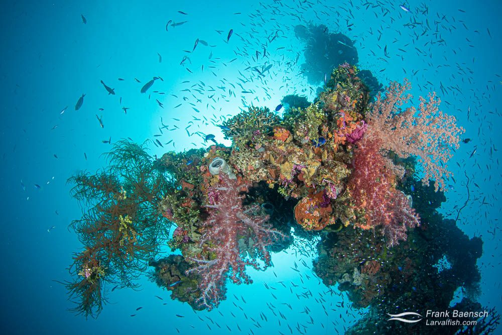 Wreck masts in Truck Lagoon often burst with coral and fish  life.
