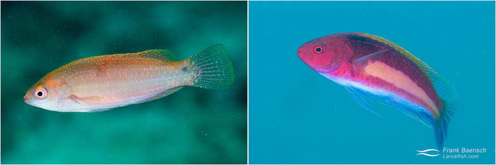 Yellowband fairy wrasse female and male