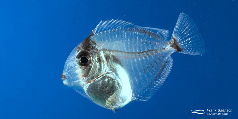Cultured orangeband surgeonfish juvenile