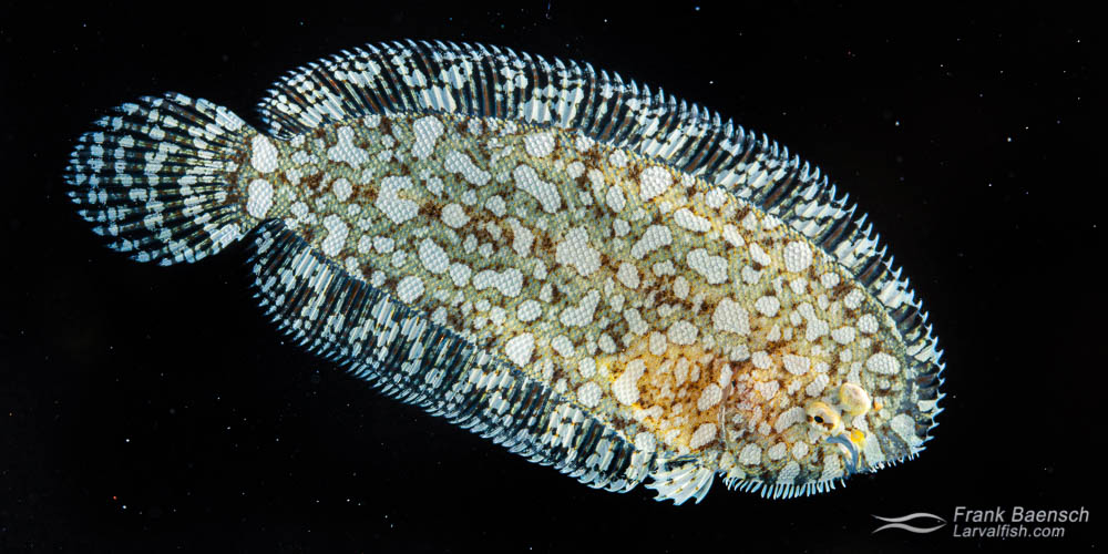 Cultured Holcom's sole juvenile