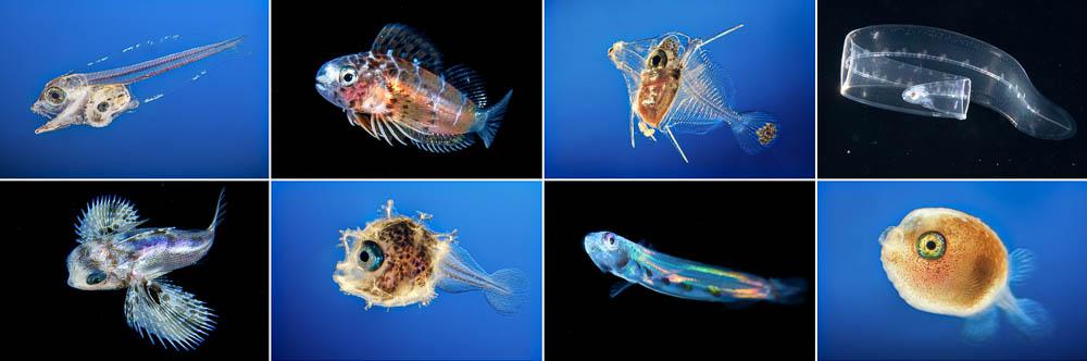 Discover fish larvae