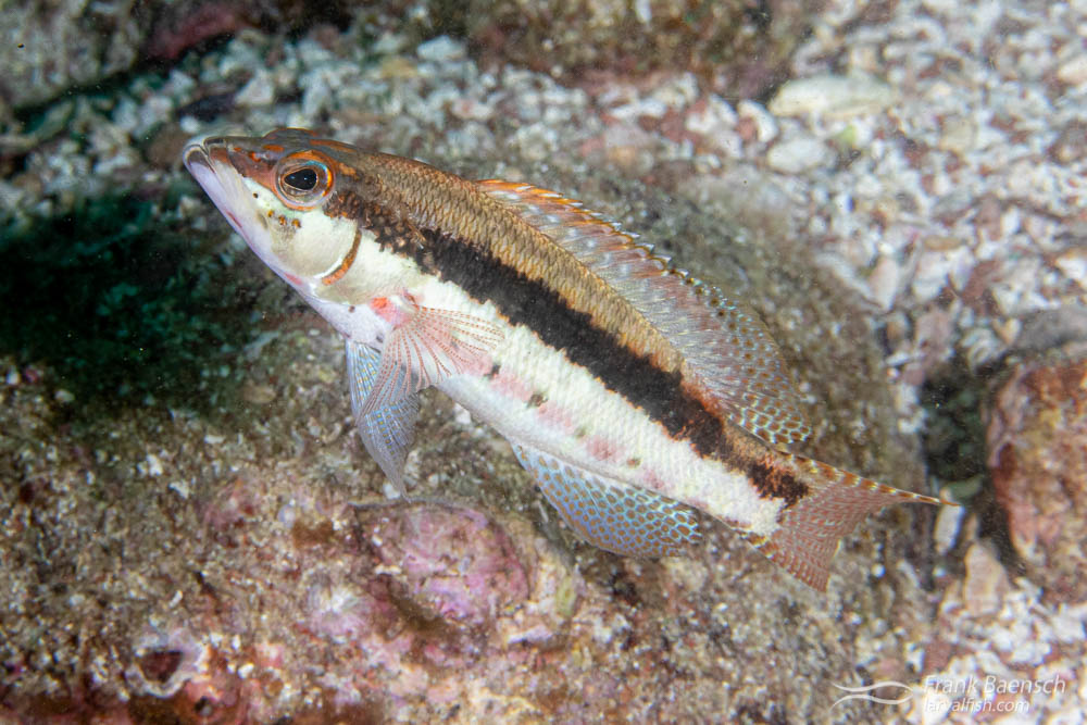 Barred serrano (Serranus psittacinus). Of the 27 species in the genus Serranus, 13 are found in Mexican waters (10 in the Atlantic and 3 in the Pacific Ocean).