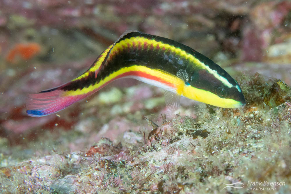 Female Cortez rainbow wrasse (Thalassoma lucasanum). The most common wrasse on the reef by a long shot. The young act as cleaner fish.