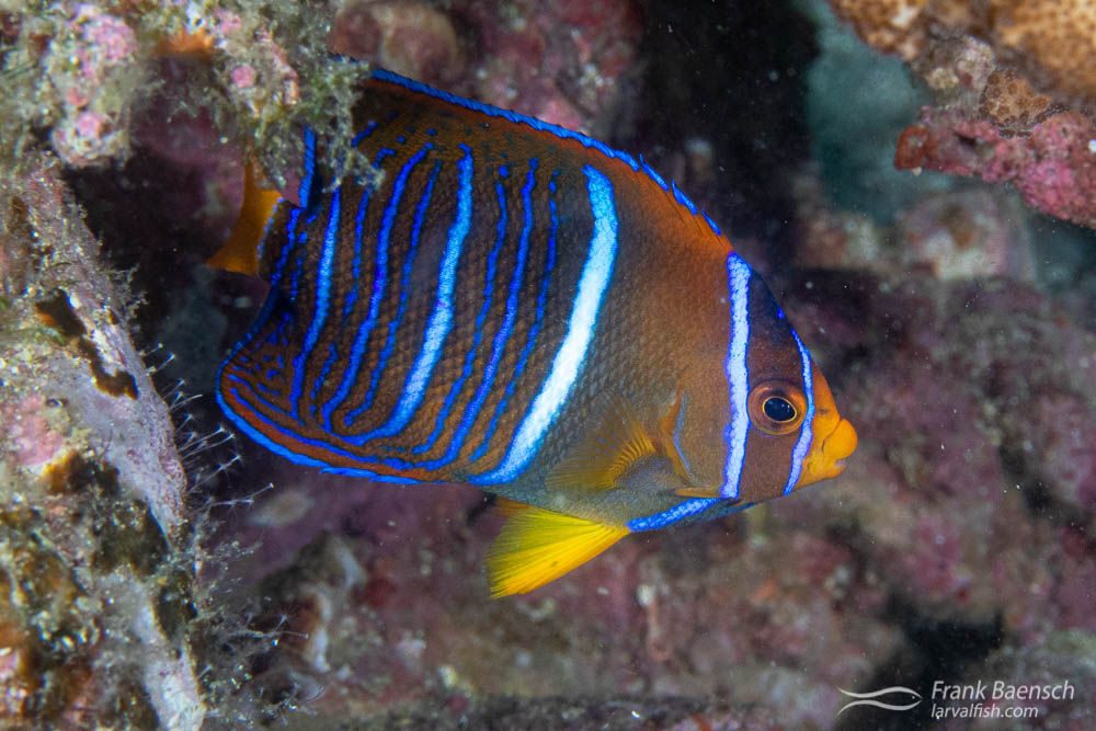 Juvenile King angelfish (Holacanthus passer). The color patterns and elegance of juvenile Holocanthus never ceases to amaze me.