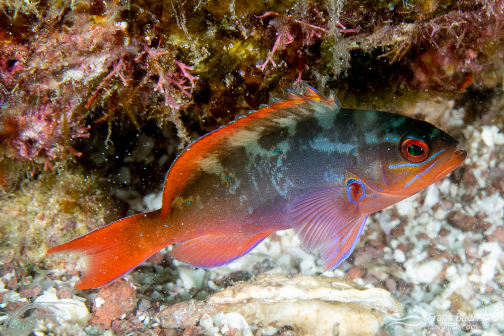 Juvenile Pacific creolefish (Paranthias colonus) are pretty and bottom-oriented juveniles.  The adults are more drab and school well above reef to feed.