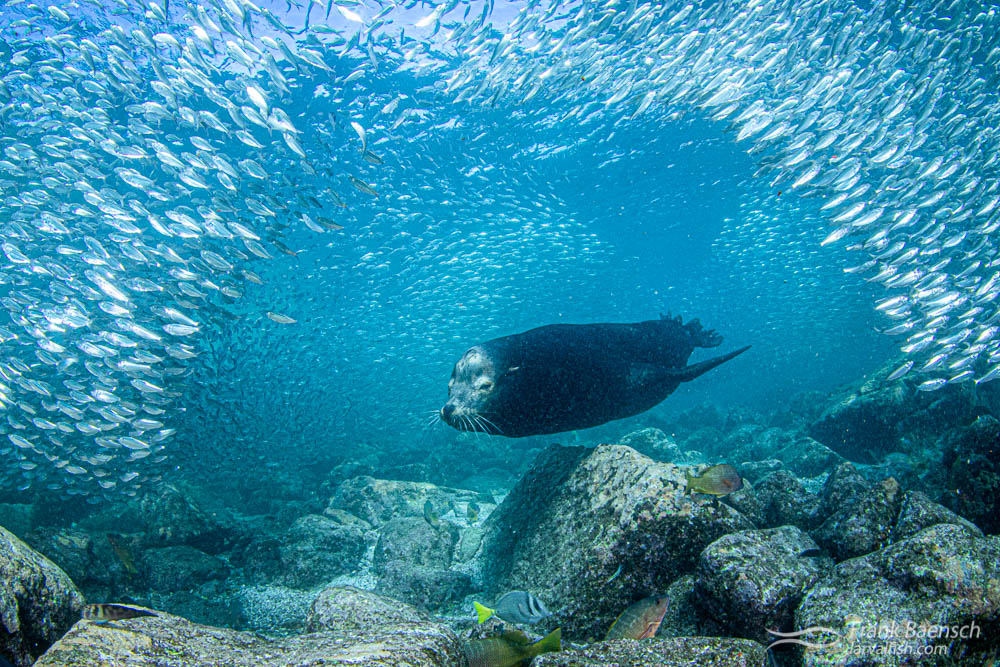 A sea lion bull cruises underneath a school of sardines at Los Islotes. Baja, Mexico.