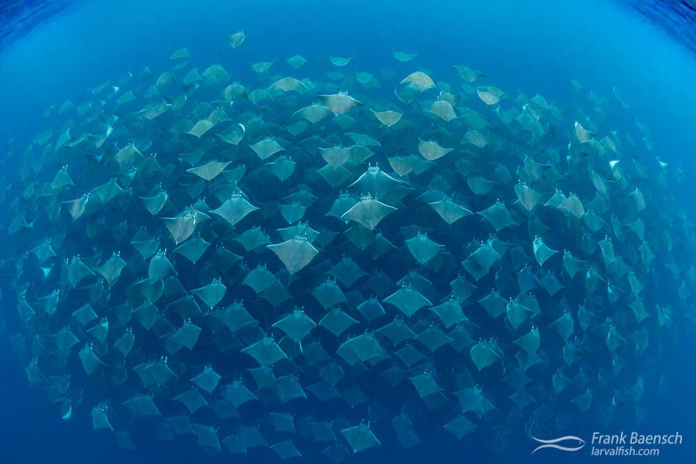 Hundreds of mobula rays (Mobula munkiana) gliding together in perfect unison. Magdalena Bay, Mexico
