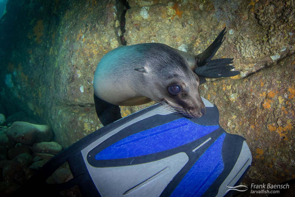 A sea lion pup nips my fin in a cave. Los Islotes, Mexico.