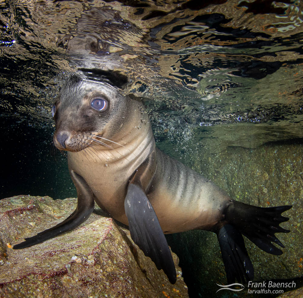 Sea lion pup at the surface in a cave.