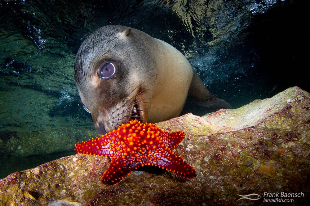 Sea lion pup plays with a starfish in a cave at Los Islotes.