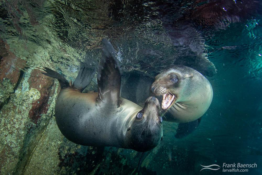 Two playful sea lion pups at Los Islotes, Mexico.