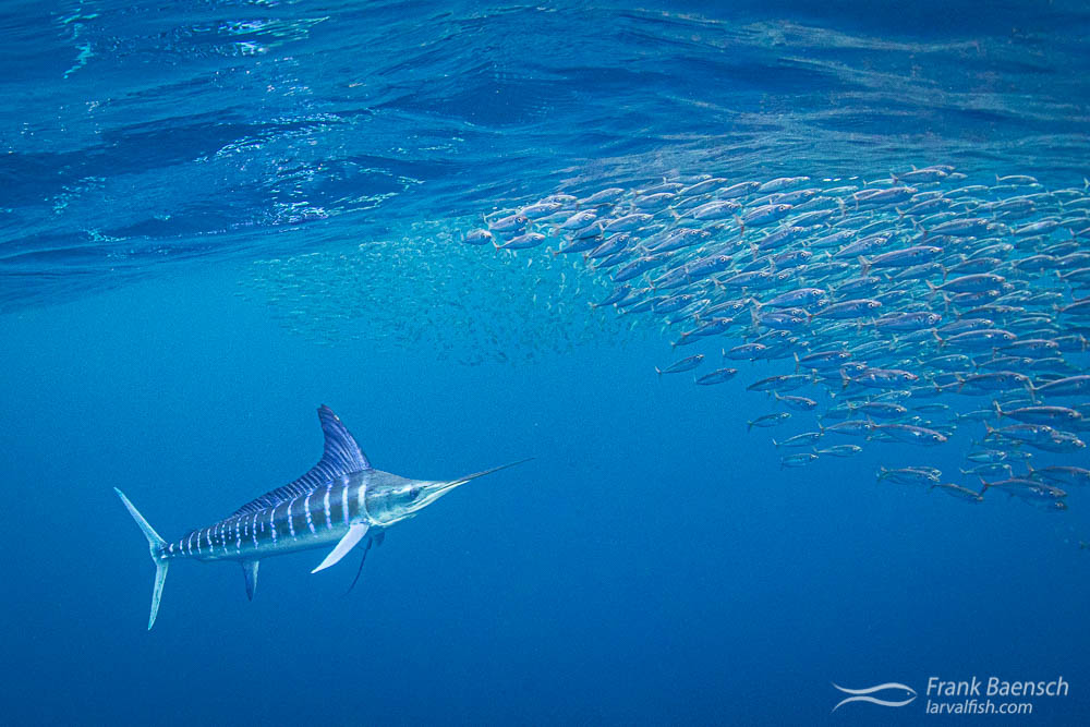 A striped marlin hunts a mackerel baitball. Magdalena Bay, Mexico