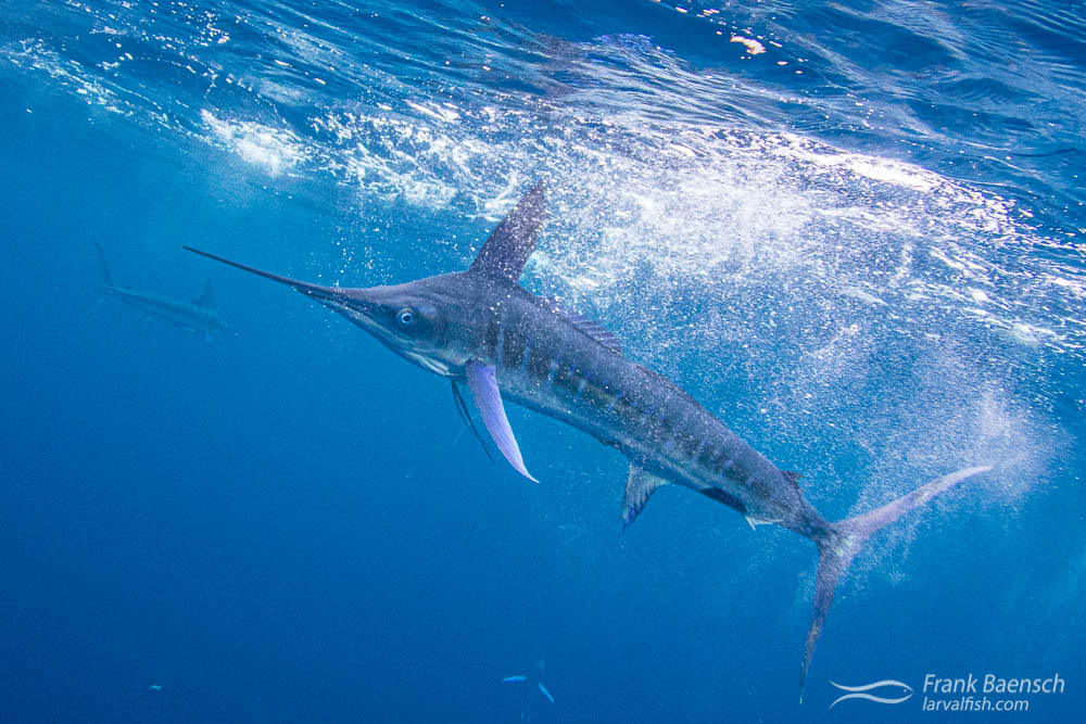 A striped marlin (Tetrapturus audax) slices through the surface while searching for a mackerel. Magdalena Bay, Mexico.