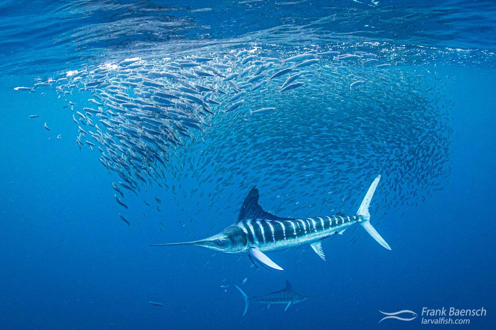 Striped marlin (Tetrapturus audax) hunt a mackerel bait ball. Magdalena Bay, Mexico.