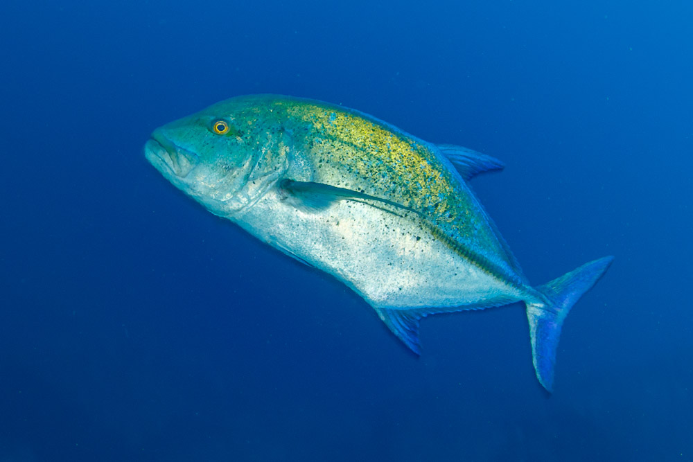 Adult bluefin trevally (Caranx melampygus) off a deep reef in Costa Rica.
