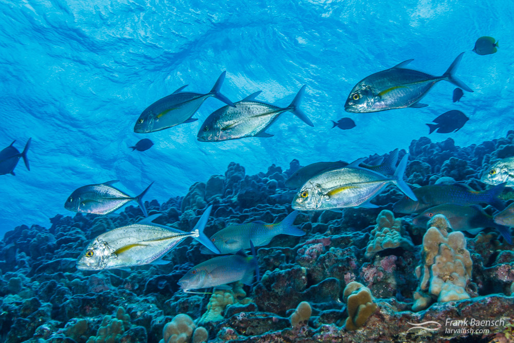 Juvenile bluefin trevallys (Caranx melampygus) on a shallow reef off Oahu.