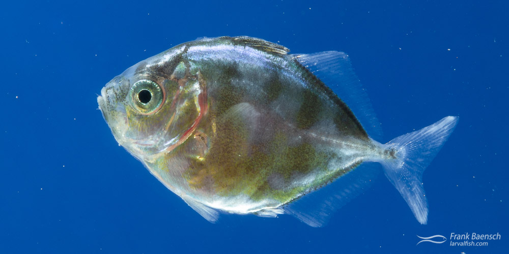 Transforming bluefin trevally