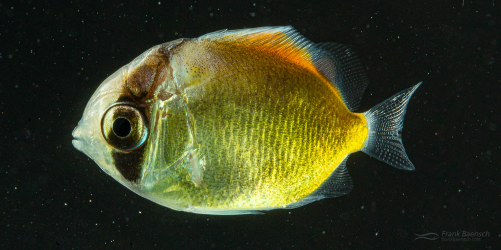 Auriga Butterflyfish Culture