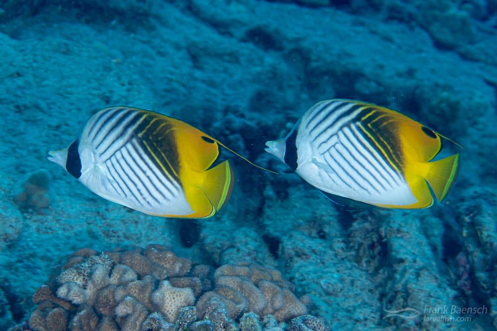Auriga butterflyfish (Chaetodon auriga) pair on a reef off Oahu.